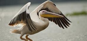 Пеликан посети ресторант на самообслужване, нареди се на опашка (ВИДЕО+СНИМКИ)