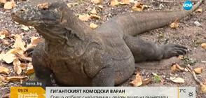 Комодският варан - най-големият и опасен гущер на планетата (ВИДЕО)