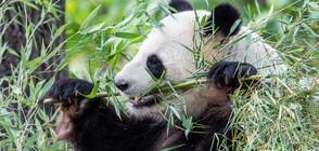 Прегледаха една от пандите в зоопарка в Берлин за аномалия на бъбреците (ВИДЕО)