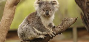 Семейство приюти 24 коали, оцелели след пожарите в Австралия (ВИДЕО)