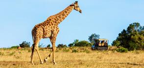 Жираф падна върху джип с туристи (СНИМКИ)