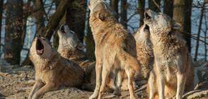 ЕКШЪН В ПЛАНИНАТА: Туристи оцеляха след нападение от вълци (ВИДЕО)