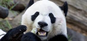 Известното бебе панда Бей Бей си тръгна от Вашингтон (ВИДЕО+СНИМКИ)