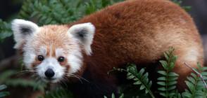 Френски зоопарк издирва червена панда-беглец (СНИМКИ)