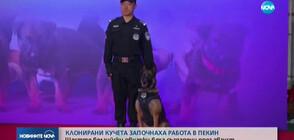Клонирани кучета започнаха работа в Пекин (ВИДЕО)