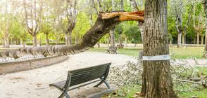 Снежната буря изкорени огромно дърво в Пловдив (ВИДЕО)