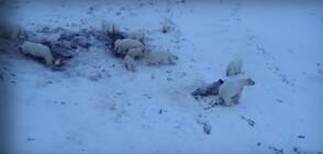 Полярни мечки обсадиха село в Чукотка (ВИДЕО)