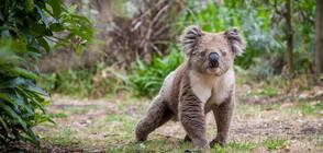 Австралия заделя терени за нов хабитат за коали след горските пожари