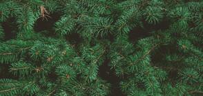 Български учен прави плантации за коледни елхи