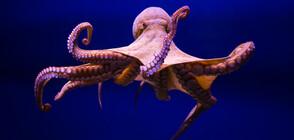 Ожесточена схватка във водата между октопод и орел (ВИДЕО)