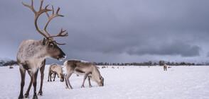 Глобалното затопляне застрашава северните елени в Швеция