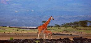 """""""Без багаж"""" ни среща с жирафи с бели чорапи"""