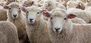 Овце си играят на детска площадка в Уелс на фона на пандемията (ВИДЕО)