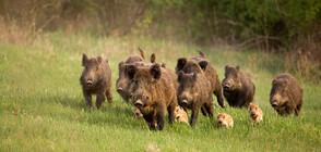Удължава се срокът за групов лов на дива свиня