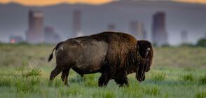 Избягали бизони бродят из канадски град (СНИМКА)