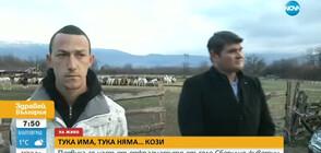 ТУКА ИМА, ТУКА НЯМА... КОЗИ: Появиха се част от животните, задигнати в Сливенско