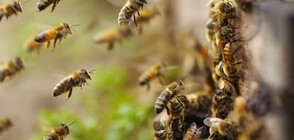 Спешните служби в Калифорния отцепиха квартал, превзет от агресивни пчели
