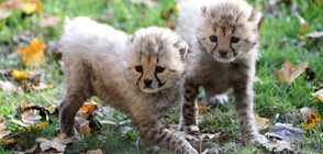 ЗА ПРЪВ ПЪТ В СВЕТА: Родиха се гепардчета, заченати инвитро (ВИДЕО)