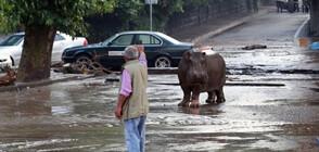 Хипопотами обикалят свободно улици в колумбийски град (ВИДЕО+СНИМКИ)