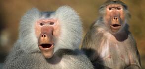 """Маймуни бягат от скопяване в стил """"Бони и Клайд"""" (ВИДЕО)"""