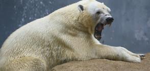 Белите мечки в Русия започнаха да се самоизяждат