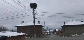 Щъркели пристигнаха в Челопеч, снегът ги изненада неприятно (СНИМКИ)