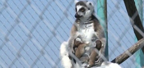 Три лемура се родиха в зоопарка в Бургас (ВИДЕО)