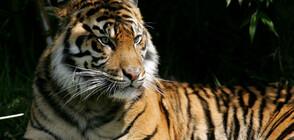 Тигрица в нюйоркски зоопарк се зарази с коронавирус (СНИМКИ)