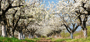 Черешовите дървета поглъщат въглероден диоксид