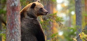 Заснеха мечка с две мечета под Рилския манастир (ВИДЕО)