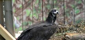 Бракониери застреляха изключително рядка птица (ВИДЕО)