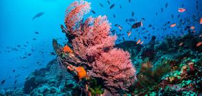 Високите температури в Австралия доведоха до масово избелване на коралите в Големия бариерен риф (ВИДЕО)