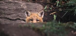 Семейство лисици се настани в мазето на столично училищe (ВИДЕО)