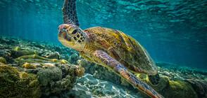 УНИКАЛНИ КАДРИ: Масово гнездене на хиляди зелени костенурки (ВИДЕО)