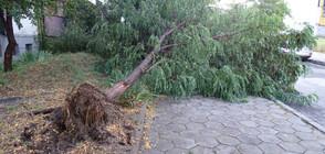 Огромно дърво падна на метри от дете в центъра на Кюстендил