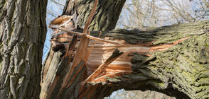 НА КОСЪМ ОТ ТРАГЕДИЯ: Защо дърво в центъра на Кюстендил падна върху 2-годишно дете?