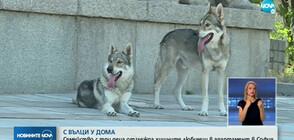С ВЪЛЦИ У ДОМА: Семейство с три деца отглежда хищните любимци в апартамент в София (ВИДЕО)