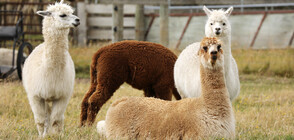 Белгийската лама Уинтър може да спаси човечеството от COVID-19 (СНИМКИ)