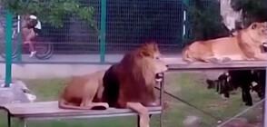 """""""Пълен абсурд"""": Какво е състоянието на лъва Хектор от зоопарка в Пазарджик?"""