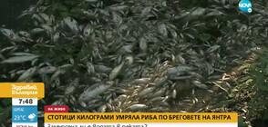Стотици килограми мъртва риба изплува по бреговете на Янтра (ВИДЕО)