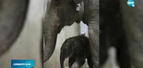В зоопарка в Сейнт Луис се роди слонче за първи път от 27 години насам (ВИДЕО)