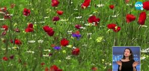 Заснеха с дрон поля с цветя край италианско градче (ВИДЕО)