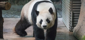 Пандата Цзяо Цин отпразнува рождения си ден с торта (ВИДЕО)