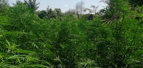 ЗРЕЛИЩНА АКЦИЯ: Заловиха мъже, докато поливат и торят плантация с марихуана (ВИДЕО+СНИМКИ)