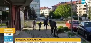 "Коне се разхождат свободно по бул. ""Андрей Ляпчев"" (ВИДЕО)"