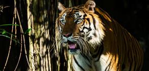 Забелязаха рядък и застрашен вид тигри в Тайланд (ВИДЕО)