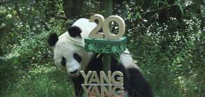Панда празнува 20-ия си рожден ден с веган торта (ВИДЕО)