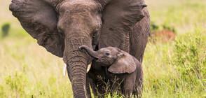 Броят на слоновете в Кения се е удвоил за 30 години
