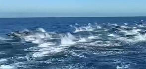 ЗРЕЛИЩЕ ВЪВ ВОДАТА: Стотици делфини край бреговете на Южна Калифорния (ВИДЕО)