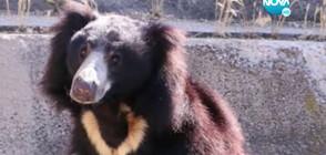 Подхвърлена храна прати в болница мечка от столичния зоопарк
